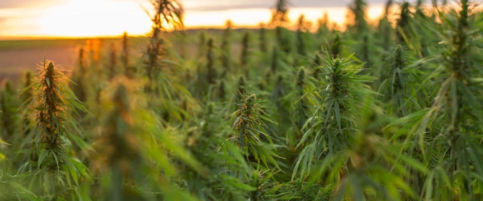 Il farmacista tornato in Sardegna per coltivare Cannabis